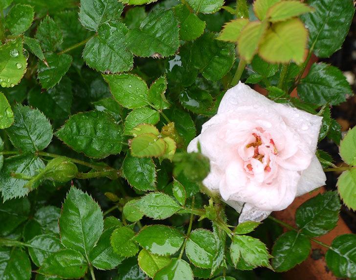 ミスピーチ姫(ミニバラ)の花が増えてきた。2016年-5.jpg