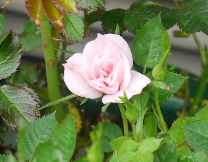 ミスピーチ姫(ミニバラ)の花が増えてきた。2016年-6.jpg