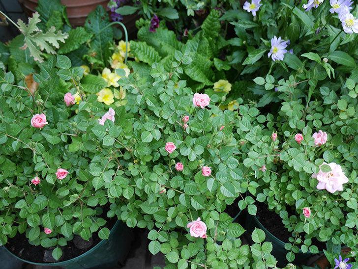ミスピーチ姫(ミニバラ)の花が増えて来た。2018年-1.jpg