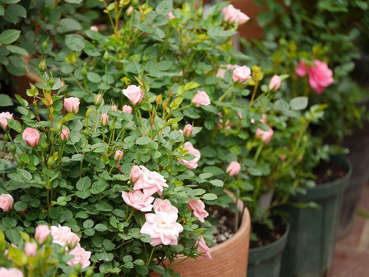 ミスピーチ姫(ミニバラ)の花が増えて来た。2019年-1.jpg