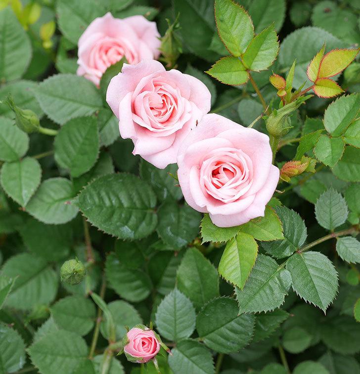 ミスピーチ姫(ミニバラ)の花が増えて来た。2019年-10.jpg