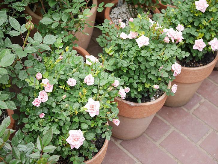 ミスピーチ姫(ミニバラ)の花が増えて来た。2019年-12.jpg