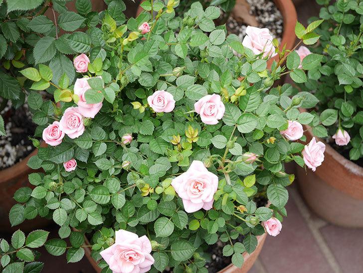 ミスピーチ姫(ミニバラ)の花が増えて来た。2019年-13.jpg