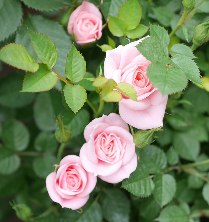 ミスピーチ姫(ミニバラ)の花が増えて来た。2019年-14.jpg