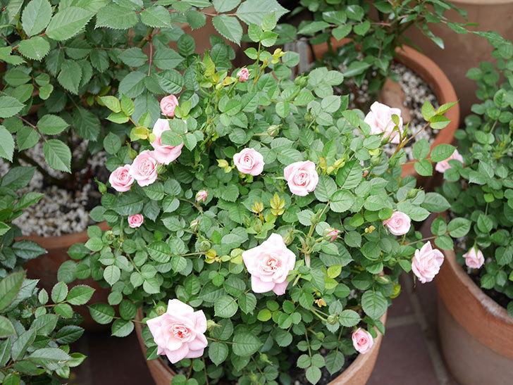 ミスピーチ姫(ミニバラ)の花が増えて来た。2019年-15.jpg