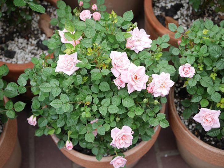 ミスピーチ姫(ミニバラ)の花が増えて来た。2019年-16.jpg