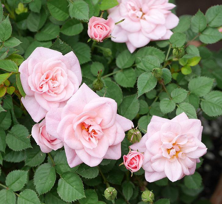 ミスピーチ姫(ミニバラ)の花が増えて来た。2019年-17.jpg