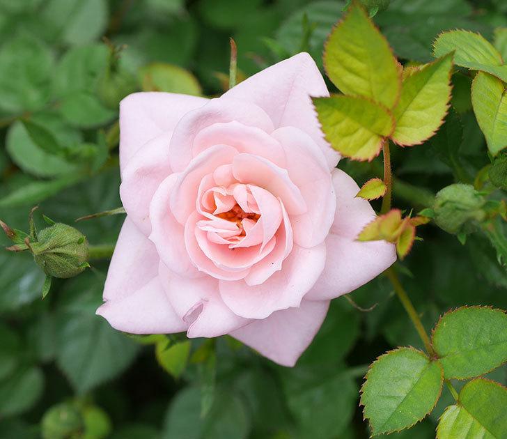 ミスピーチ姫(ミニバラ)の花が増えて来た。2019年-19.jpg