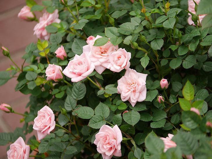 ミスピーチ姫(ミニバラ)の花が増えて来た。2019年-2.jpg