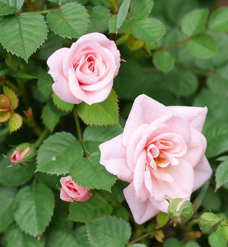 ミスピーチ姫(ミニバラ)の花が増えて来た。2019年-24.jpg