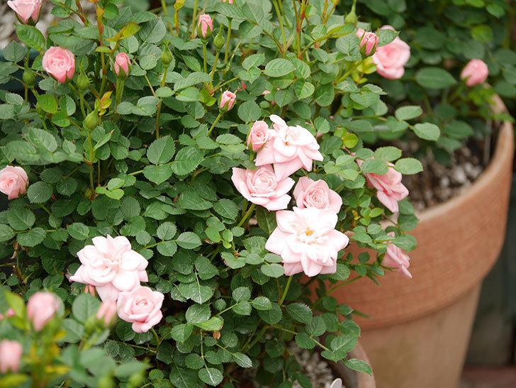 ミスピーチ姫(ミニバラ)の花が増えて来た。2019年-3.jpg