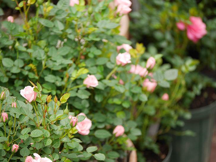 ミスピーチ姫(ミニバラ)の花が増えて来た。2019年-5.jpg