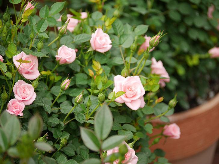 ミスピーチ姫(ミニバラ)の花が増えて来た。2019年-6.jpg
