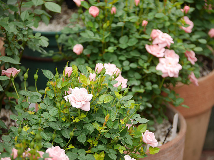 ミスピーチ姫(ミニバラ)の花が増えて来た。2019年-7.jpg