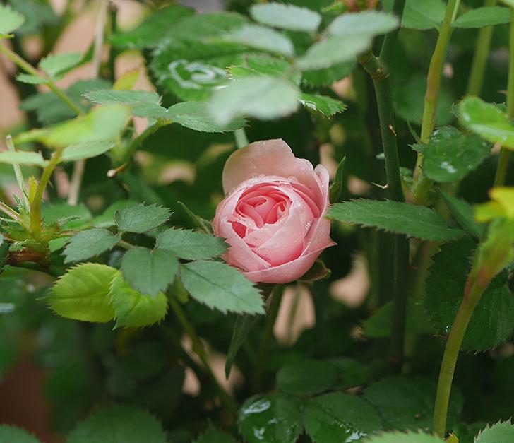 ミスピーチ姫(ミニバラ)の花が少し咲いた。2020年-1.jpg