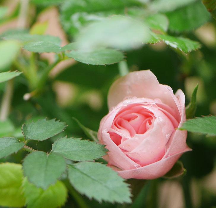 ミスピーチ姫(ミニバラ)の花が少し咲いた。2020年-2.jpg