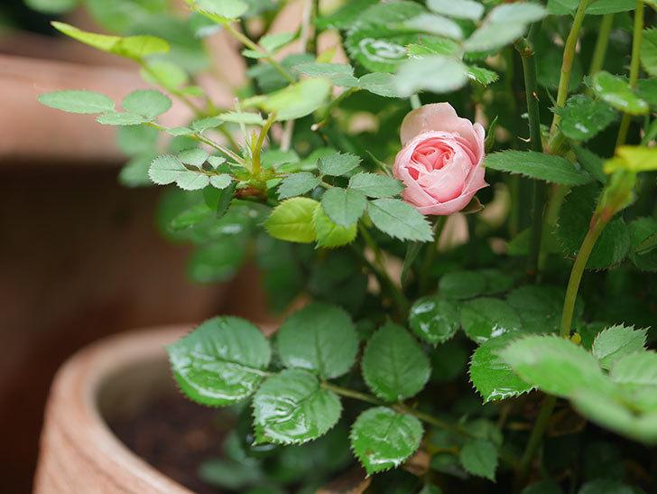 ミスピーチ姫(ミニバラ)の花が少し咲いた。2020年-3.jpg