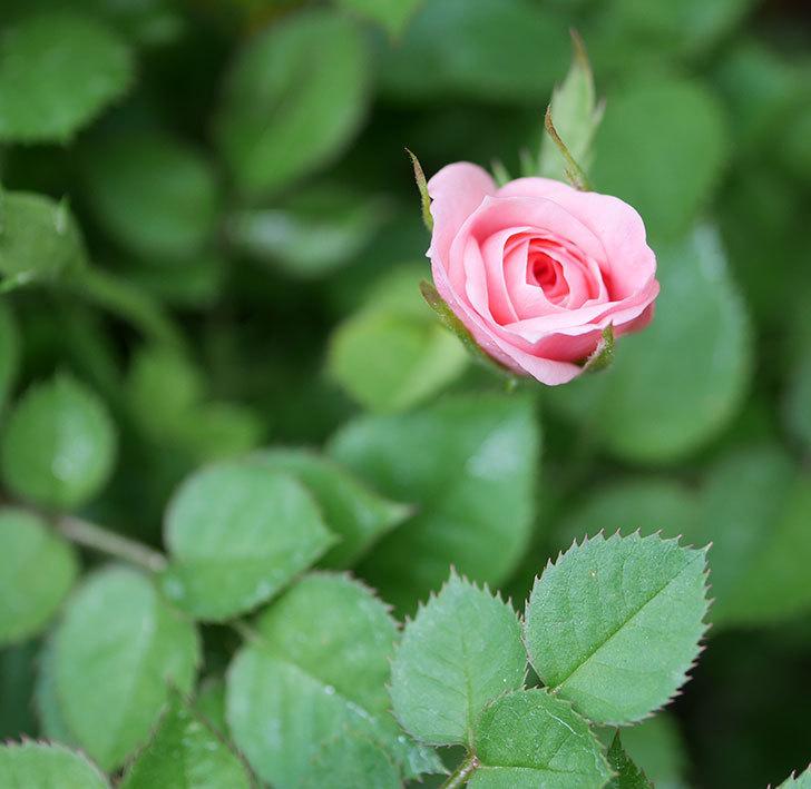 ミスピーチ姫(ミニバラ)の花が本格的に咲きだしそう。2019年-1.jpg