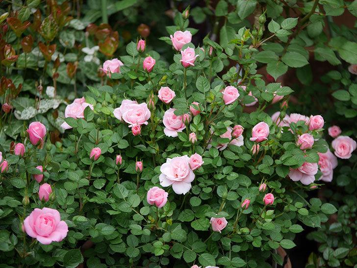 ミスピーチ姫(ミニバラ)の花が本格的に咲きだした。2020年-10.jpg