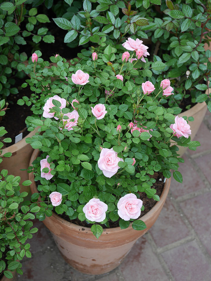 ミスピーチ姫(ミニバラ)の花が本格的に咲きだした。2020年-14.jpg