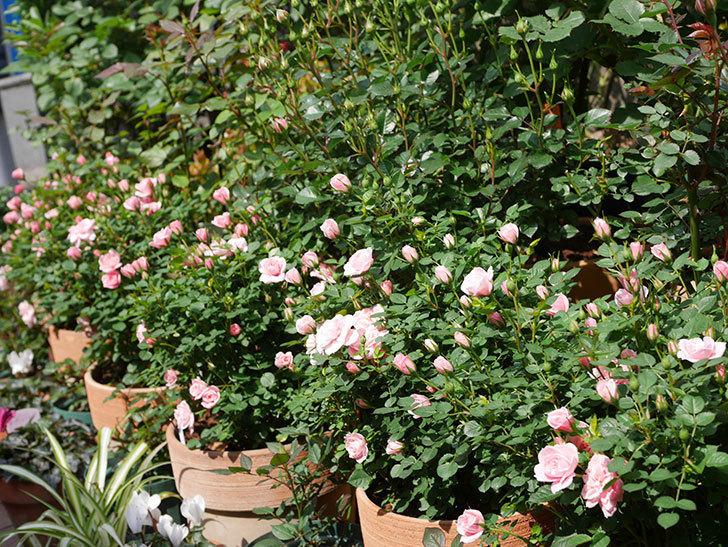 ミスピーチ姫(ミニバラ)の花が本格的に咲きだした。2020年-15.jpg