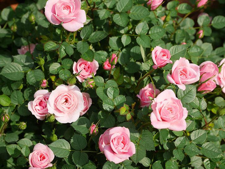 ミスピーチ姫(ミニバラ)の花が本格的に咲きだした。2020年-16.jpg