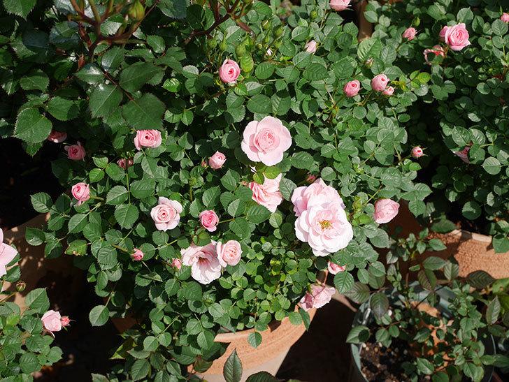 ミスピーチ姫(ミニバラ)の花が本格的に咲きだした。2020年-17.jpg