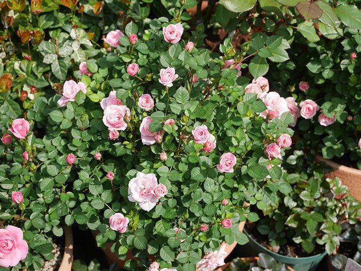 ミスピーチ姫(ミニバラ)の花が本格的に咲きだした。2020年-18.jpg