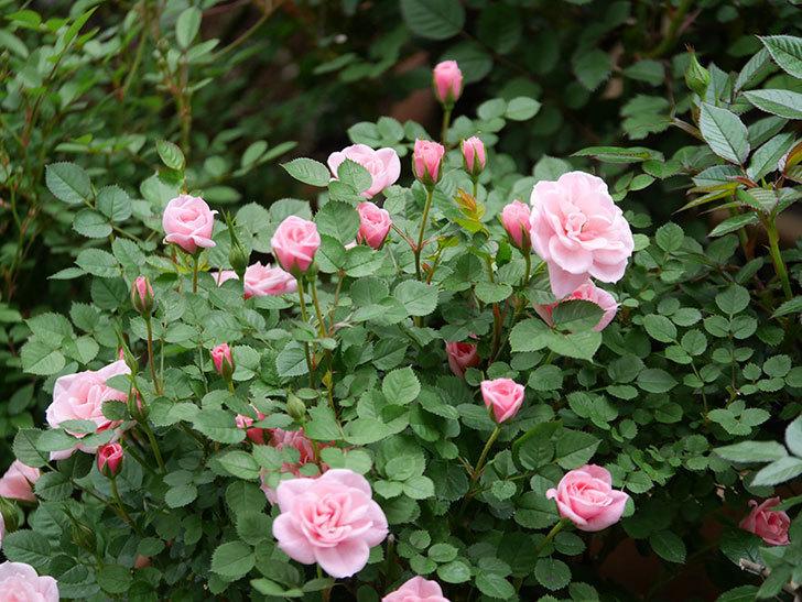 ミスピーチ姫(ミニバラ)の花が本格的に咲きだした。2020年-2.jpg