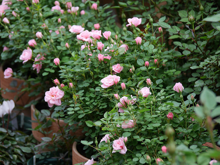 ミスピーチ姫(ミニバラ)の花が本格的に咲きだした。2020年-4.jpg
