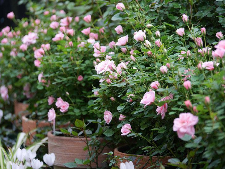ミスピーチ姫(ミニバラ)の花が本格的に咲きだした。2020年-5.jpg