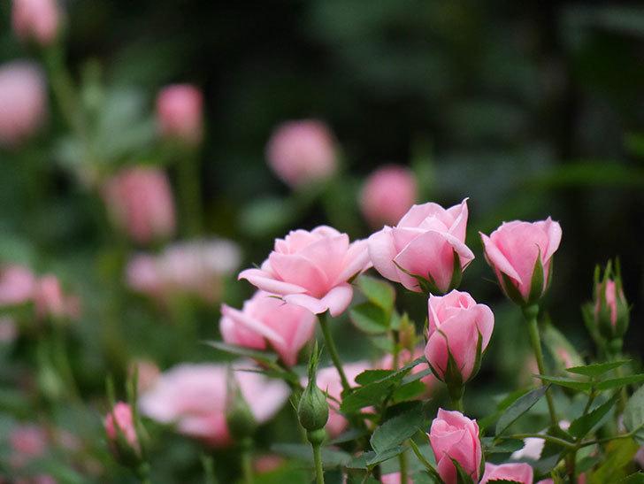 ミスピーチ姫(ミニバラ)の花が本格的に咲きだした。2020年-6.jpg