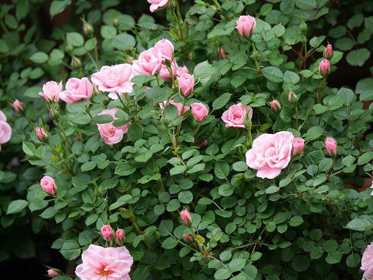 ミスピーチ姫(ミニバラ)の花が本格的に咲きだした。2020年-7.jpg