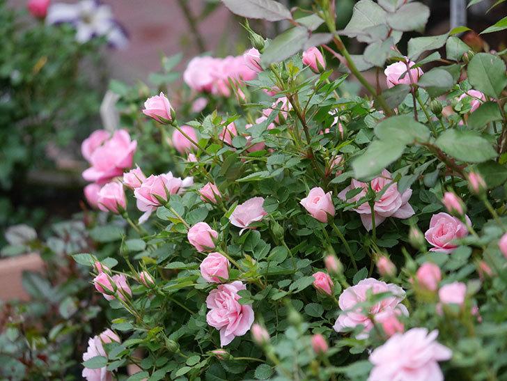 ミスピーチ姫(ミニバラ)の花が本格的に咲きだした。2020年-8.jpg