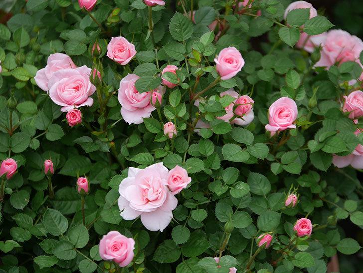 ミスピーチ姫(ミニバラ)の花が本格的に咲きだした。2020年-9.jpg
