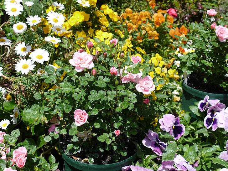 ミスピーチ姫(ミニバラ)の花が良い感じになってきた。2017年-10.jpg