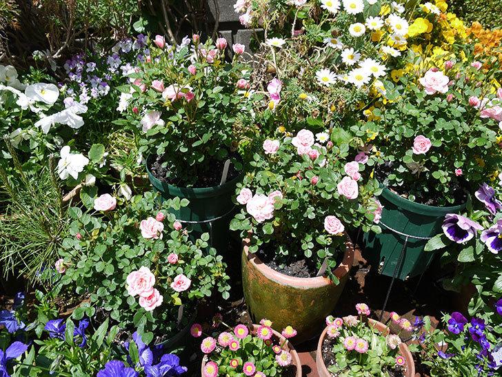 ミスピーチ姫(ミニバラ)の花が良い感じになってきた。2017年-11.jpg