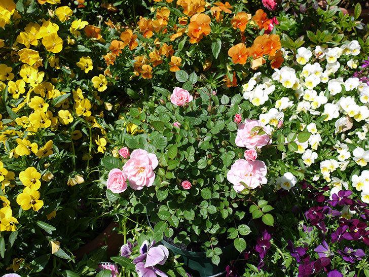 ミスピーチ姫(ミニバラ)の花が良い感じになってきた。2017年-12.jpg