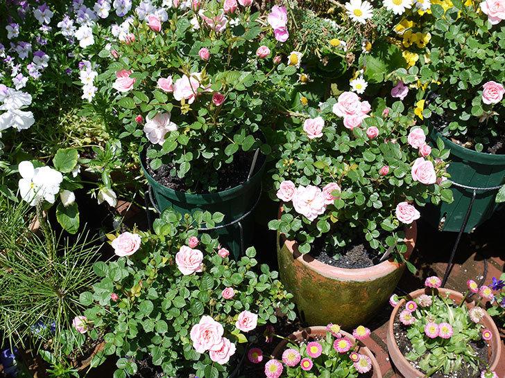 ミスピーチ姫(ミニバラ)の花が良い感じになってきた。2017年-5.jpg