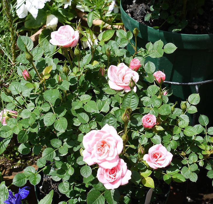 ミスピーチ姫(ミニバラ)の花が良い感じになってきた。2017年-6.jpg
