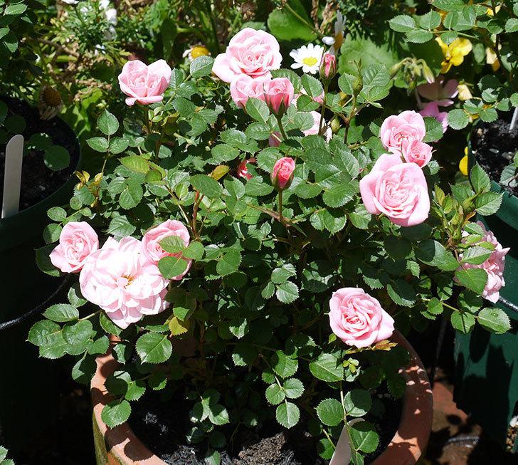 ミスピーチ姫(ミニバラ)の花が良い感じになってきた。2017年-7.jpg