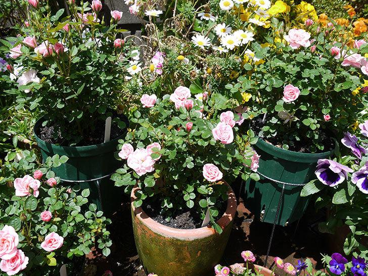 ミスピーチ姫(ミニバラ)の花が良い感じになってきた。2017年-8.jpg