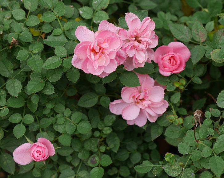 ミスピーチ姫(ミニバラ)の花の色が濃くなってきた。2019年-1.jpg
