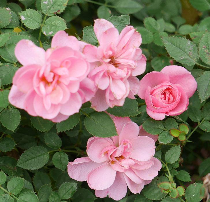 ミスピーチ姫(ミニバラ)の花の色が濃くなってきた。2019年-2.jpg