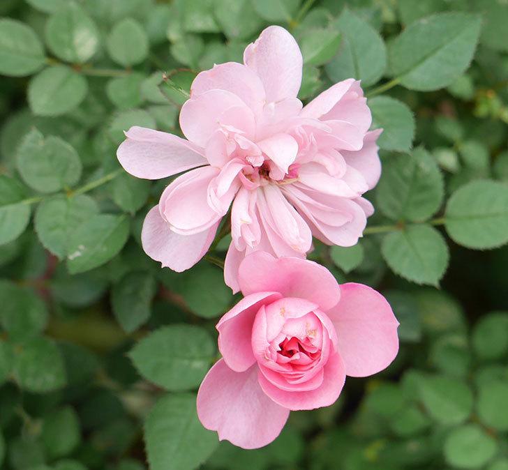 ミスピーチ姫(ミニバラ)の花の色が濃くなってきた。2019年-5.jpg