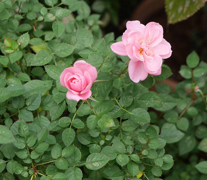 ミスピーチ姫(ミニバラ)の花の色が濃くなってきた。2019年-6.jpg