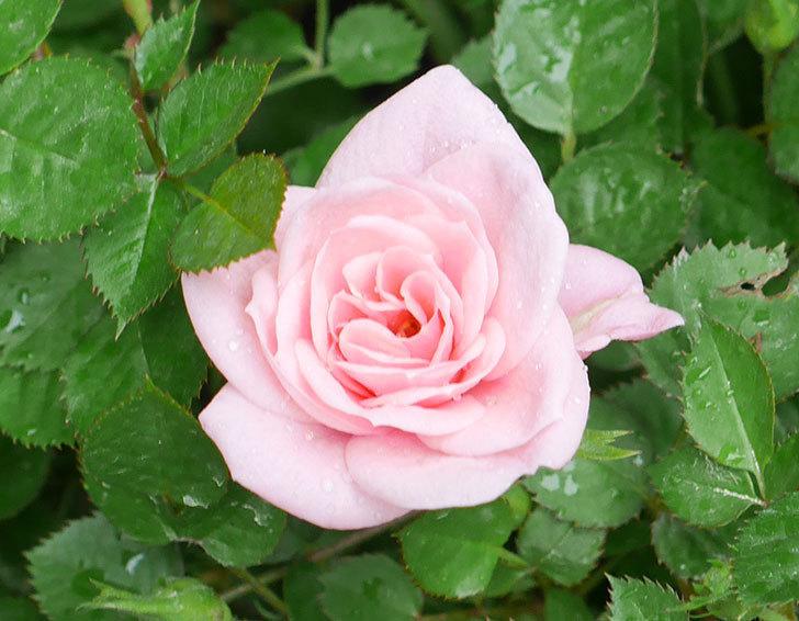 ミスピーチ姫(ミニバラ)花が本格的に咲きだした。2018年-2.jpg