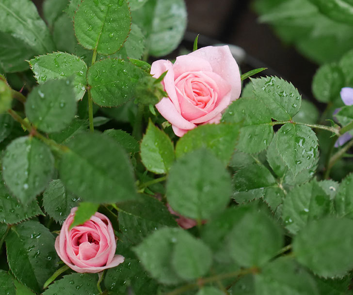 ミスピーチ姫(ミニバラ)花が本格的に咲きだした。2018年-3.jpg