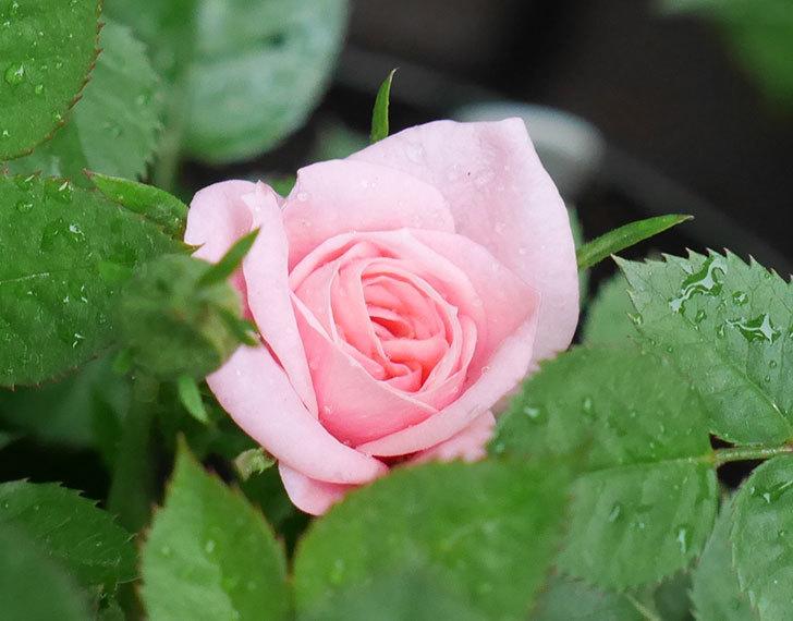 ミスピーチ姫(ミニバラ)花が本格的に咲きだした。2018年-4.jpg