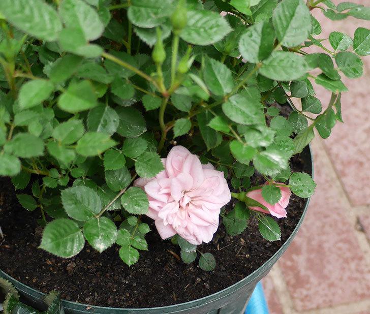 ミスピーチ姫(ミニバラ)花が本格的に咲きだした。2018年-5.jpg